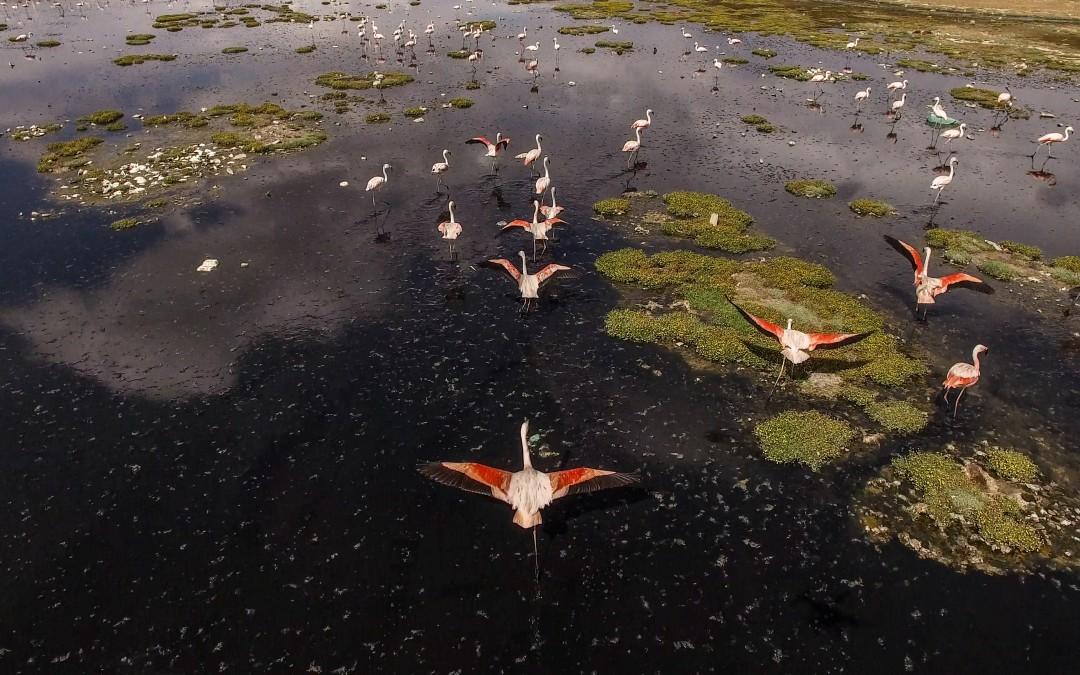 Los flamencos andinos o pariguanas son el símbolo más visible de cómo la desaparición del Poopó afecta al ecosistema. Imágenes: Pablo Cozzaglio para Univision Noticias