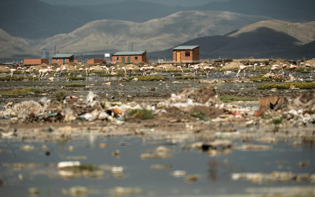 Pero este año, al no encontrarlo, siguieron rumbo al norte hasta el lago Uru Uru, aledaño a la ciudad de Oruro.