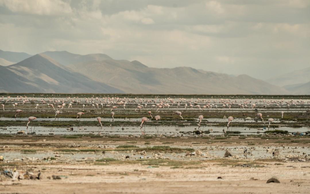 Ahora sobreviven en un lago al que llegan aguas residuales.