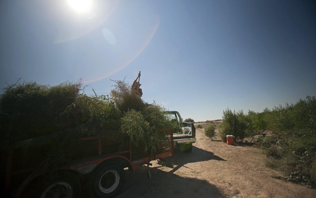 En esta zona del río se está quitando pino salado para plantar álamos, sauces y mezquites.